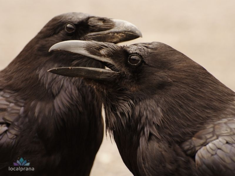 Crows hold grudges